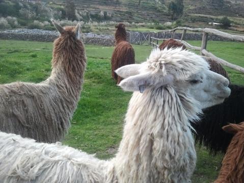 Alpacas Colca Lodge Arequipa